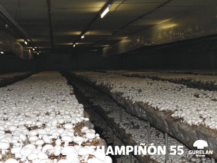 Champiñón <em>(Agaricus bisporus)</em> variedad 55