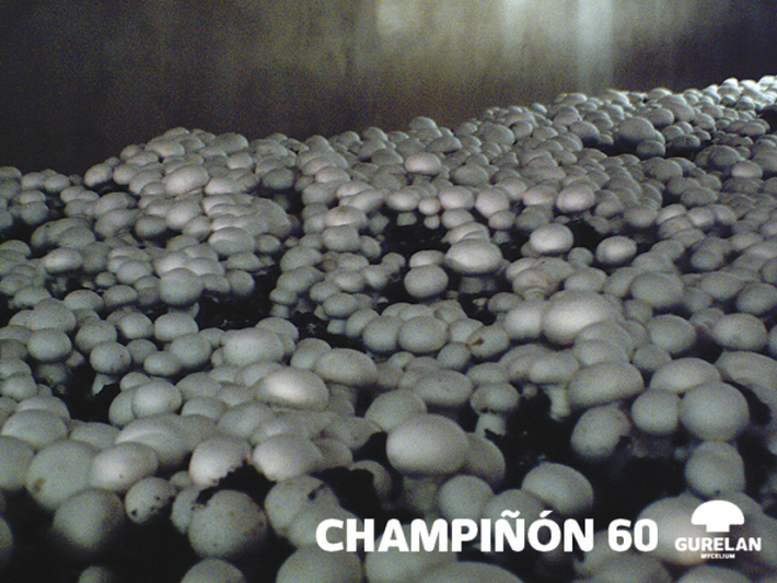 Champiñón <em>(Agaricus bisporus)</em> variedad 60