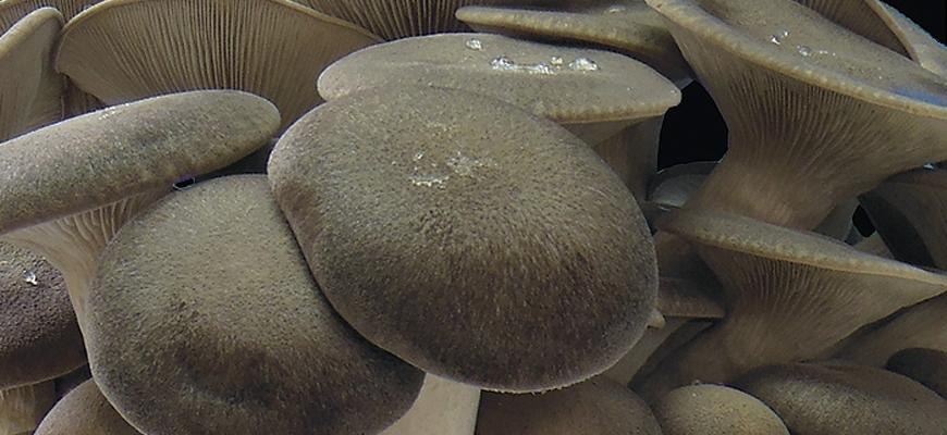 Seta de cardo <em>(Pleurotus eryngii)</em> variedad EN