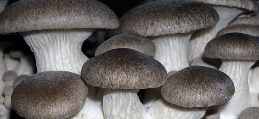 King Oyster Mushroom <em>(Pleurotus Eryngii)</em> variety EPR