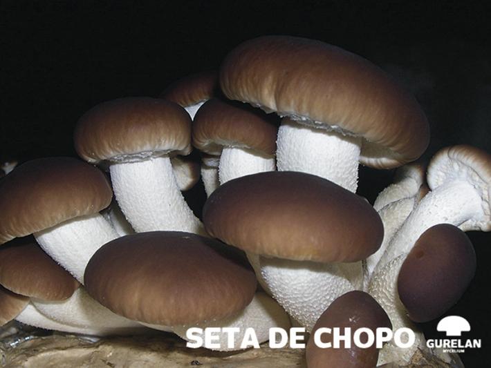 Seta de chopo <em>(Agrocybe aegerita)</em> variedad AA9