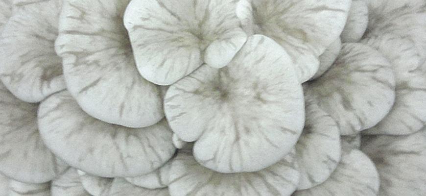 Seta ostra <em>(Pleurotus ostreatu)</em> variedad G40