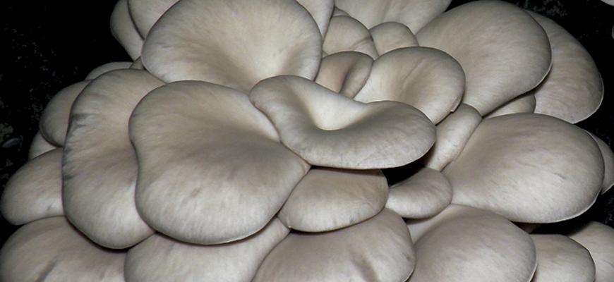 Oyster Mushroom <em>(Pleurotus Ostreatus)</em> variety H10