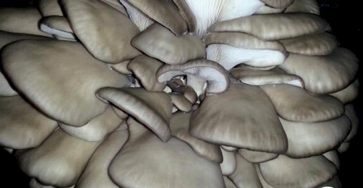 Seta ostra <em>(Pleurotus ostreatu)</em> variedad H107