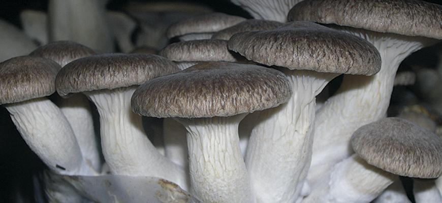 Seta de cardo <em>(Pleurotus eryngii)</em>