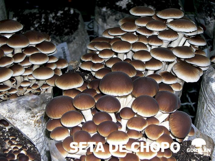 Seta de chopo <em>(Agrocybe aegerita)</em>