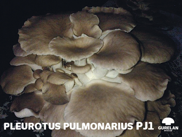 <em>Pleurotus pulmonarius</em> – variedad PJ1